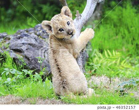 ライオンの赤ちゃん 46352157