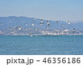冬 琵琶湖 鳥の写真 46356186