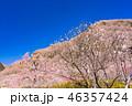 《神奈川県》湯河原梅林・梅の宴 46357424