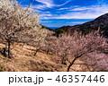 《神奈川県》湯河原梅林・梅の宴 46357446