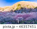 《神奈川県》湯河原梅林・梅の宴 46357451
