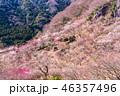 《神奈川県》湯河原梅林・梅の宴 46357496