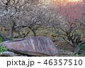 《神奈川県》湯河原梅林・梅の宴 46357510