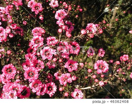 桃色の可愛い花はギョリュウバイ 46362408