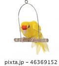 鳥 黄色い 黄の写真 46369152
