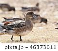 鳥 カモ 野鳥の写真 46373011