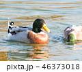 鳥 野鳥 水鳥の写真 46373018