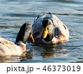 鳥 鴨 水鳥の写真 46373019