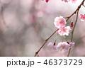 桜 八重桜 ピンクの写真 46373729