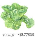 白菜 ハクサイ 46377535