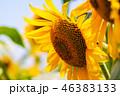 ひまわり ひまわり畑 花の写真 46383133