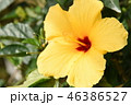 花 アップ ハイビスカスの写真 46386527