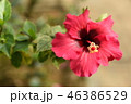 花 アップ ハイビスカスの写真 46386529