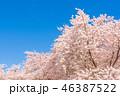 桜の名所百選・熊谷桜堤 46387522