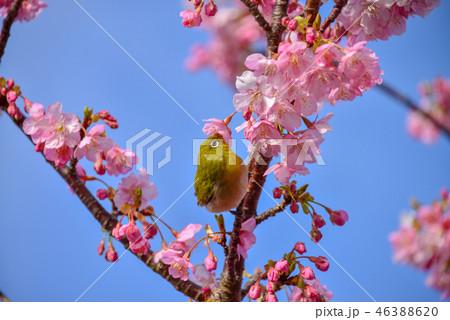 河津桜の花の蜜を吸うメジロ 46388620