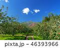 林檎 りんご リンゴの写真 46393966