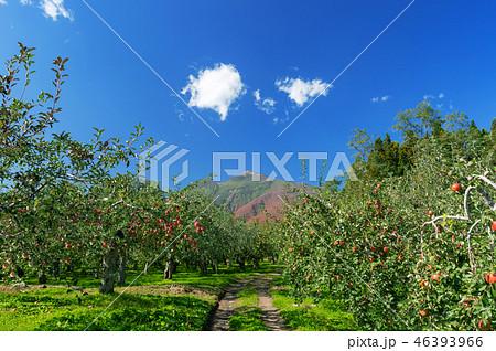 【青森県弘前市りんご】岩木山麓津軽の秋、りんご園は収穫中 46393966