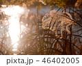 ススキ 秋 46402005