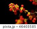 ウメモドキ 実 植物の写真 46403585