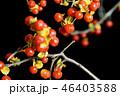 ウメモドキ 実 植物の写真 46403588