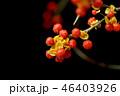 ウメモドキ 実 植物の写真 46403926