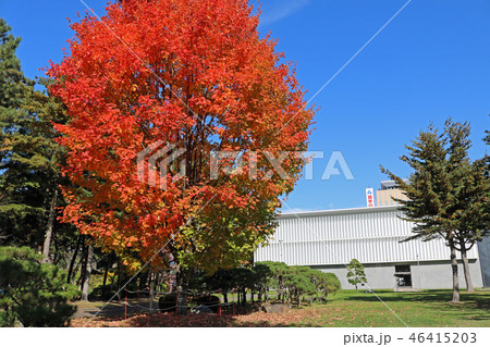 盛岡城跡公園(岩手公園)、芝生広場の紅く色づいたサトウカエデ 46415203