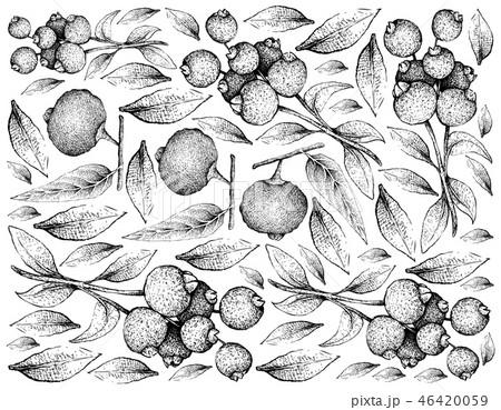 Hand Drawn of Guabiju and Guabiraba Fruits on Whit 46420059