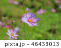 アキザクラ コスモ コスモスの写真 46433013