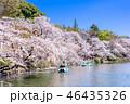 井の頭恩賜公園 春 桜の写真 46435326