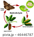 Moth life cycle diagram 46446787