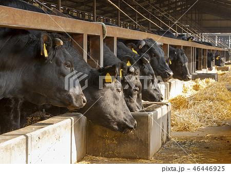 牛舎の牛 46446925