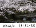 七谷川の桜 46451435