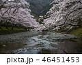 七谷川の桜 46451453