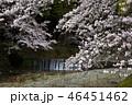 七谷川の桜 46451462