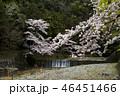 七谷川の桜 46451466