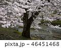 七谷川の桜 46451468