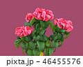 ポインセチア (深度合成) 46455576