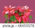 ポインセチア (深度合成) 46455578