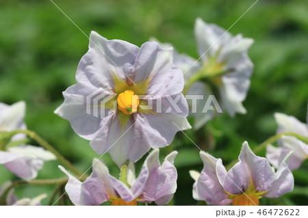 ジャガイモの花 46472622