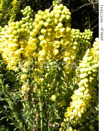 細葉ヒイラギナンテンとも言うマホニアの黄色い花 46475641