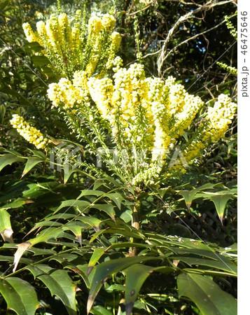 細葉ヒイラギナンテンとも言うマホニアの黄色い花 46475646