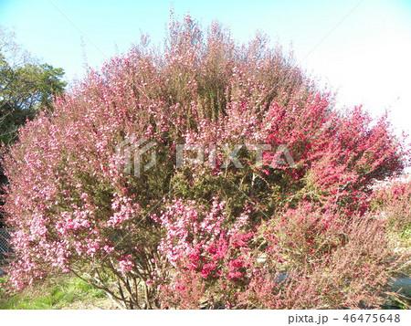 桃色の可愛い花はギョリュウバイ 46475648