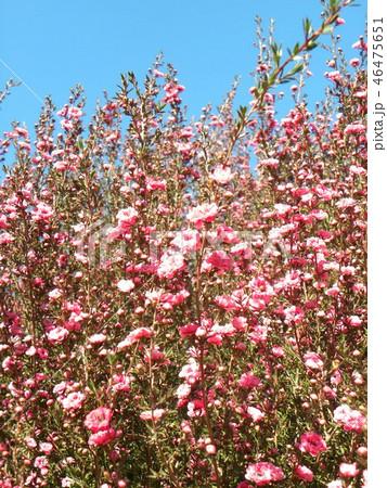 桃色の可愛い花はギョリュウバイ 46475651