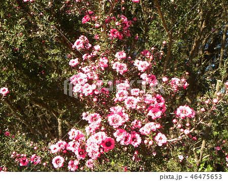 桃色の可愛い花はギョリュウバイ 46475653