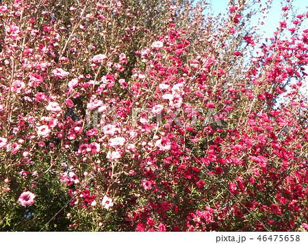 桃色の可愛い花はギョリュウバイ 46475658