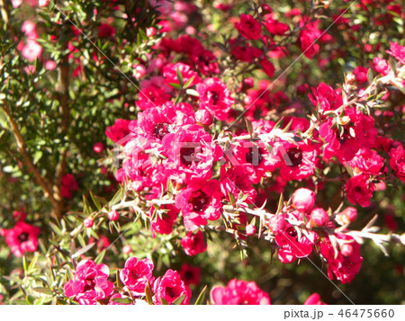桃色の可愛い花はギョリュウバイ 46475660