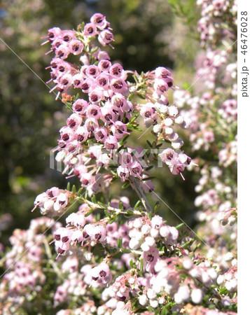 可愛い小さい桃色の花エリカ 46476028