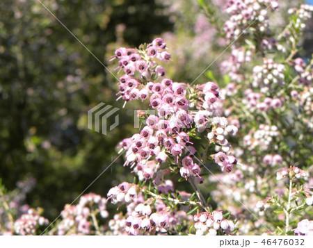 可愛い小さい桃色の花エリカ 46476032