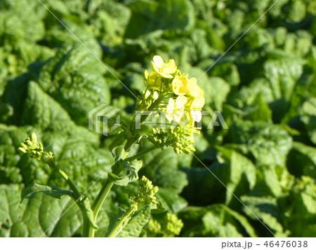 12月に咲き始めた早咲きナバナ 46476038