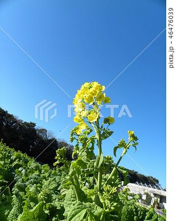 12月に咲き始めた早咲きナバナ 46476039
